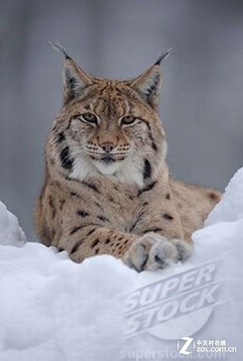 照片中是一只猞猁,也称大山猫,目前已被列入《濒危野生动植物种国际贸