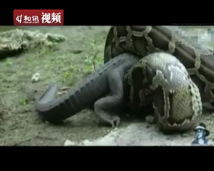 鳄鱼大战巨蟒被缠身活吞