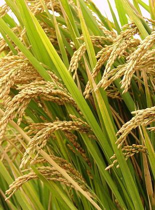 最不受关注大行情――早籼稻单边下跌20%