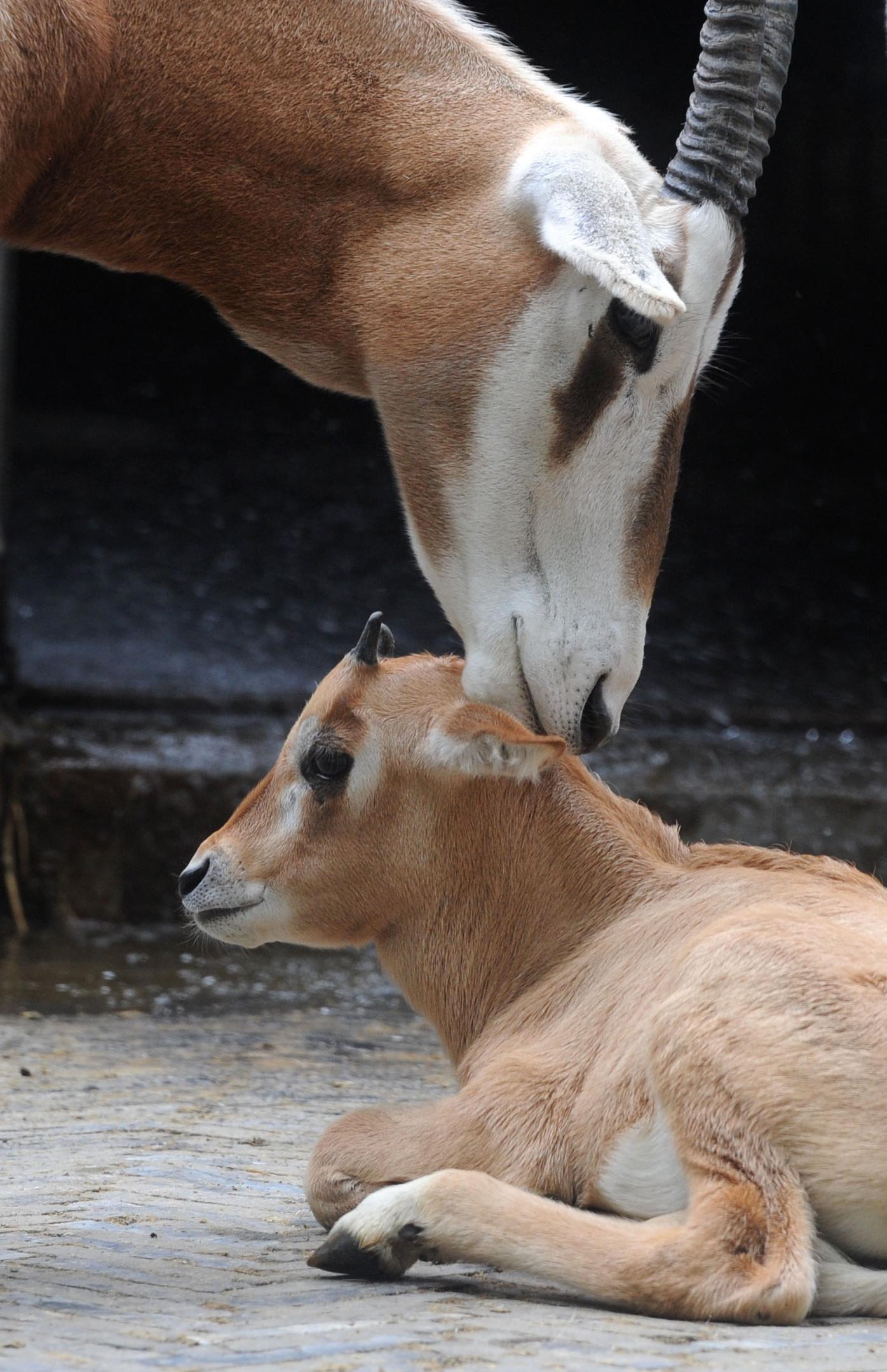 新华社照片,苏州(江苏),2015年6月10日   苏州动物园初夏添丁多   6月10日,在苏州动物园,一只长白角羚妈妈与宝宝亲昵。   随着天气渐暖,苏州动物园动物迎来生育高峰期。其中,白长角羚、赤猴、阿拉伯狒狒和环尾狐猴等动物妈妈纷纷添丁。目前,这些可爱的动物宝宝们生长情况良好,给前来游园的游客增添了游兴。   新华社发(杭兴微 摄)